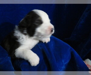 Miniature Australian Shepherd Puppy for sale in HARTVILLE, MO, USA