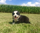 Australian Shepherd Puppy For Sale in ROBERTS, IL,