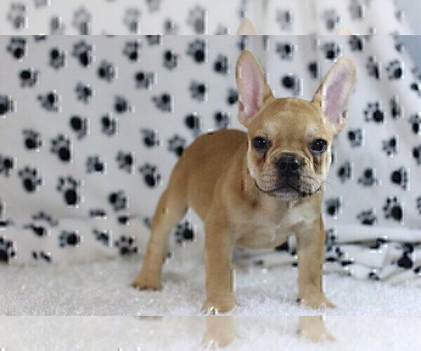 Medium Photo #2 French Bulldog Puppy For Sale in OLD WESTBURY, NY, USA
