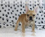 Small Photo #2 French Bulldog Puppy For Sale in OLD WESTBURY, NY, USA