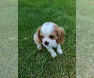 Cavalier King Charles Spaniel Dog for Adoption in MOUND CITY, Missouri USA