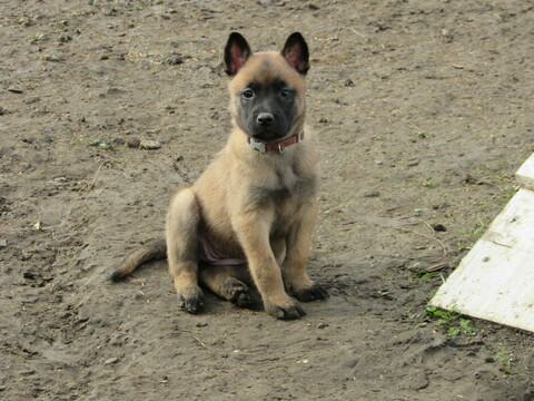 View Ad: Belgian Malinois Litter of Puppies for Sale near In United Arab Emirates