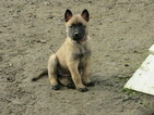 Belgian Malinois Puppy For Sale in VALLEJO, California,