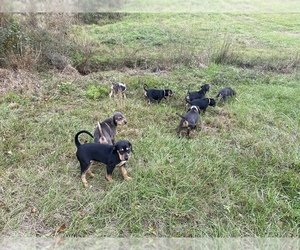 Catahoula Leopard Dog Puppy for Sale in ATMORE, Alabama USA