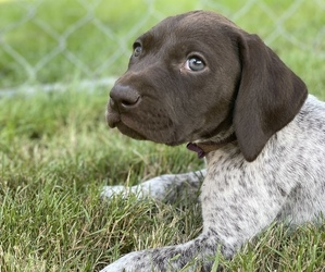 German Shorthaired Pointer Dog for Adoption in DALLAS, Oregon USA