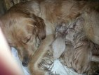Golden Retriever Puppy For Sale in TRIVOLI, IL