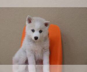 Pomsky Mix Puppy for Sale in KENDALL, Florida USA