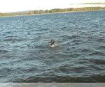 Small #37 Labrador Retriever