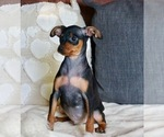 Small #3 Miniature Pinscher