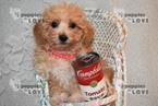 Poochon-Unknown Mix Puppy For Sale in SANGER, TX, USA