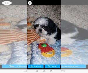 Shih Tzu Puppy for sale in ELBERON PARK, NJ, USA