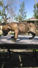 Presa Canario Puppy For Sale in LITTLEROCK, CA, USA