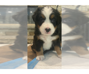Bernese Mountain Dog Puppy for sale in CONROE, TX, USA
