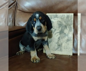 Bluetick Coonhound Puppy for sale in STOKESDALE, NC, USA