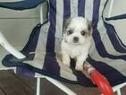 Mal-Shi Puppy For Sale in SANTA CLARITA, CA, USA