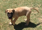 Great Dane Puppy For Sale in ENID, OK,