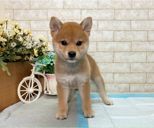 Shiba Inu Puppy for Sale in MANHATTAN, New York USA