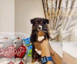 Miniature Australian Shepherd Puppy for sale in JACKSONVILLE, FL, USA