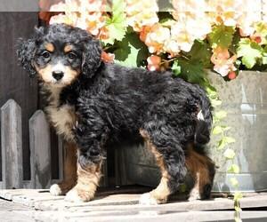 Miniature Bernedoodle Dog for Adoption in FREDERICKSBG, Ohio USA