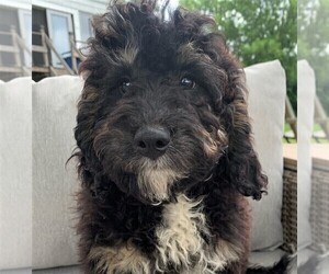 Goldendoodle-Poodle (Miniature) Mix Puppy for sale in ROWLEY, MA, USA