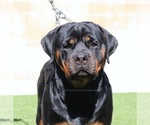 Small Photo #3 Rottweiler Puppy For Sale in FONTANA, CA, USA