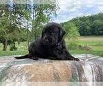 Puppy 8 Labrador Retriever