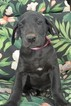 CKC Great Dane Puppies