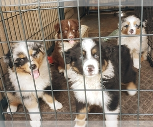 Australian Shepherd Puppy for Sale in LAKELAND, Florida USA