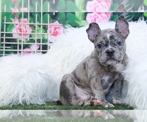 French Bulldog Puppy for sale in MARIETTA, GA, USA