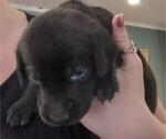 Puppy 3 Goldmaraner