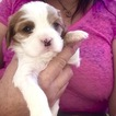 Cavalier King Charles Spaniel Puppy For Sale in LAS CRUCES, NM,