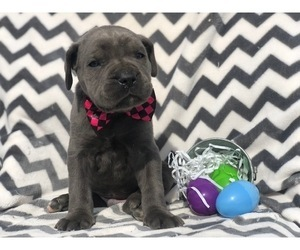 Cane Corso Puppy for sale in EAST EARL, PA, USA