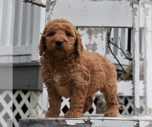Goldendoodle-Poodle (Miniature) Mix Dog for Adoption in GORDONVILLE, Pennsylvania USA