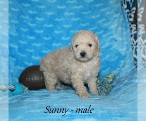 Poodle (Toy) Puppy for sale in HOPKINSVILLE, KY, USA