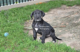 View Ad Great Dane Puppy For Sale Indiana Millersburg Usa