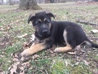German Shepherd Dog Puppy For Sale in WATSEKA, IL