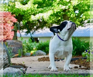French Bulldog Puppy for Sale in NAPPANEE, Indiana USA