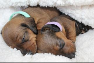 Dachshund Puppy For Sale in JACK, AL, USA