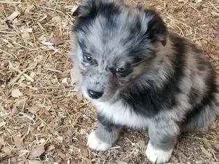 View Ad Australian Shepherd Puppy For Sale North Carolina Garland