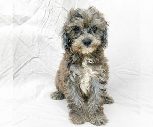 Cavapoo-Poodle (Miniature) Mix Puppy for sale in LANCASTER, PA, USA