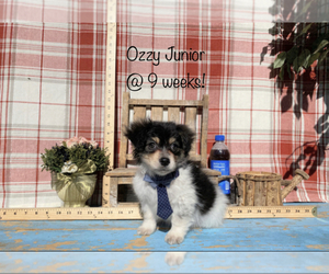 Dameranian Puppy for sale in ACTON, CA, USA