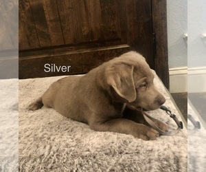 Labrador Retriever Puppy for sale in WEATHERFORD, TX, USA