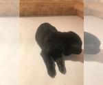 Puppy 4 Malinois