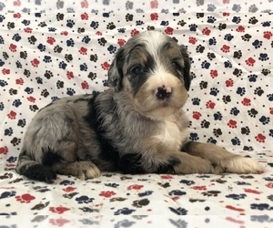 Sheepadoodle Puppy for sale in LOST CREEK, WV, USA