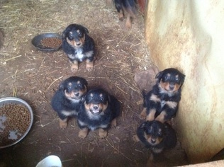 English Shepherd Puppy For Sale in HILHAM, TN