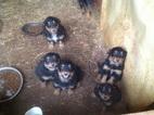 Beautiful Black and Tan English Shepherd Puppies