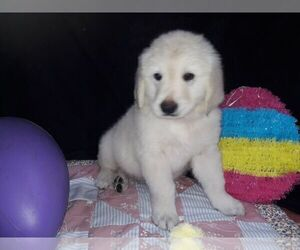 English Cream Golden Retriever Puppy for sale in SAINT PETERSBURG, FL, USA