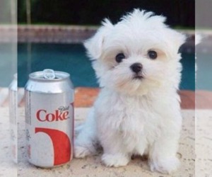 Maltese Puppy for sale in CLERMONT, FL, USA