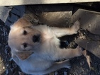 Golden Retriever Puppy For Sale in DENVER, CO,