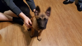 Belgian Malinois Puppy For Sale in TEXAS CITY, TX